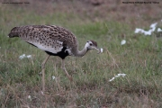 Lissotis_melanogaster008.Masai_Mara.Kenia.12.12.2014