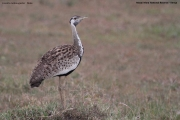 Lissotis_melanogaster009.Masai_Mara.Kenia.12.12.2014