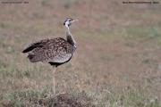 Lissotis_melanogaster013.Masai_Mara.Kenia.12.12.2014