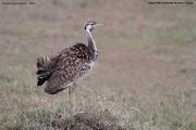 Lissotis_melanogaster015.Masai_Mara.Kenia.12.12.2014