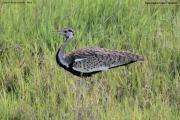 Lissotis_melanogaster018.Ngorongoro.Tanzania.21.03.2013
