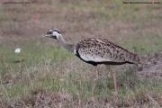 Lissotis_melanogaster006.Masai_Mara.Kenia.12.12.2014