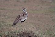 Lissotis_melanogaster011.Masai_Mara.Kenia.12.12.2014