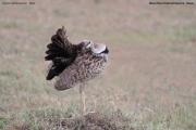 Lissotis_melanogaster016.Masai_Mara.Kenia.12.12.2014