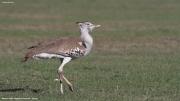 Ardeotis_kori005.Masai_Mara_N.R.Kenia.11.12.2014