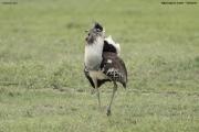 Ardeotis_kori009.Ngorongoro.Tanzania.21.03.2013