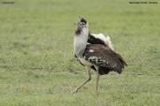 Ardeotis_kori010.Ngorongoro.Tanzania.21.03.2013