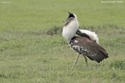 Ardeotis_kori011.Ngorongoro.Tanzania.21.03.2013