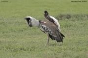 Ardeotis_kori012.Ngorongoro.Tanzania.21.03.2013