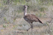 Ardeotis_kori015.Etosha_N.P.Namibia.22.02.2014