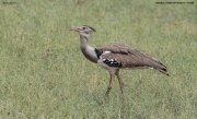 Ardeotis_kori016.Samburu_N.R.Kenia.1.12.2014