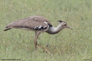 Ardeotis_kori018.Samburu_N.R.Kenia.1.12.2014