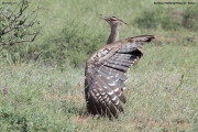 Ardeotis_kori020.Samburu_N.R.Kenia.1.12.2014