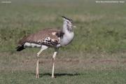 Ardeotis_kori002.Masai_Mara_N.R.Kenia.11.12.2014