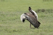 Ardeotis_kori013.Ngorongoro.Tanzania.21.03.2013