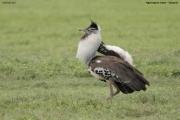 Ardeotis_kori014.Ngorongoro.Tanzania.21.03.2013