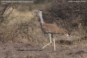 021.006.Ardeotis_arabs001.Awash.N.P.Etiopia.23.11.2009