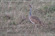 021.020.Eupodotis_senegalensis001.Male.Masai_Mara_N.R.Kenia.12.12.2014