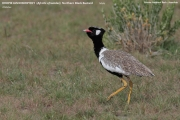 021.024.Afrotis_afraoides001.Etosha_N.P.Namibia.21.02.2014