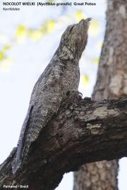 024.02.Nyctibius_grandis001.Pantanal.Brazylia.15.11.2013