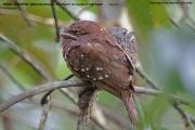 025.009.Batrachostomus_moniliger001.Female.Sinharaja_Forest_Reserve.Sri_Lanka.26.11.2018