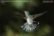 028.Florisuga_mellivora04.Female.Rancho_Naturalista.Platanillo.CR.4.12.2015