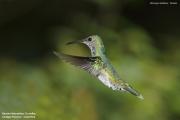 Florisuga_mellivora26.Female.Rancho_Naturalista.Platanillo.CR.4.12.2015