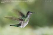 028.Florisuga_mellivora05.Female.Rancho_Naturalista.Platanillo.CR.6.12.2015