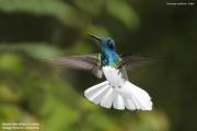 Florisuga_mellivora15.Male.Rancho_Naturalista.Platanillo.CR.6.12.2015