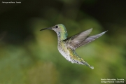 Florisuga_mellivora25.Female.Rancho_Naturalista.Platanillo.CR.4.12.2015