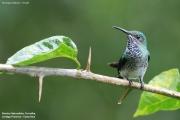 Florisuga_mellivora28.Female.Rancho_Naturalista.Platanillo.CR.6.12.2015