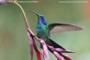 028.Colibri_thalassinus02.San_Gerardo_de_Dota.Costa_Rica.9.12.2015