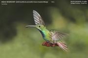 028.Anthracothorax_prevostii01.Male.Rancho_Naturalista.Platanillo.CR.4.12.2015