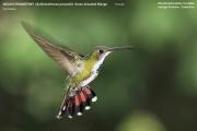 028.Anthracothorax_prevostii02.Rancho_Naturalista.Platanillo.CR.4.12.2015