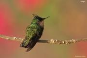 Orthorhyncus_cristatus05.Antigua.2.03.2010