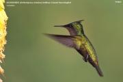 028.Orthorhyncus_cristatus02.Antigua.4.03.2010