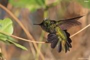 Orthorhyncus_cristatus18.Antigua.7.03.2010