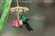 028.Chalybura_urochrysia02.Male.Flores.Guapiles.CR.3.12.2015