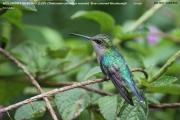 028.Thalurania_colombica02.Female.6645.San_Jose.Costa_Rica.26.11.2015