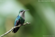 Thalurania_colombica04.Female.Flores.Guapiles.CR.3.12.2015