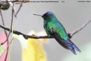 028.Thalurania_glaucopis02.Male.Foz_do_Iguacu.Brazylia.7.11.2013