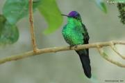Thalurania_glaucopis03.Male.Foz_do_Iguacu.Brazylia.7.11.2013