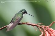 028.Lampornis_castaneoventris01.San_Gerardo_de_Dota.Costa_Rica.8.12.2015