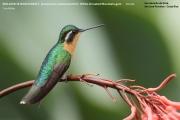 028.Lampornis_castaneoventris02.Female.San_Gerardo_de_Dota.Costa_Rica.8.12.2015