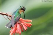 Lampornis_castaneoventris10.Female.San_Gerardo_de_Dota.Costa_Rica.8.12.2015