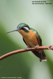 Lampornis_castaneoventris12.Female.San_Gerardo_de_Dota.Costa_Rica.8.12.2015