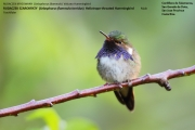 028.Selasphorus_flammula_torridus01.Male.San_Gerardo_de_Dota.Costa_Rica.7.12.2015
