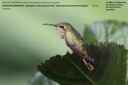 028.Selasphorus_flammula_torridus02.Female.San_Gerardo_de_Dota.Costa_Rica.7.12.2015