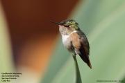 Selasphorus_flammula_torridus12.Female.San_Gerardo_de_Dota.Costa_Rica.8.12.2015
