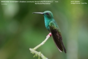 028.233.Chalybura_urochrysia01.Male.Flores.Guapiles.CR.3.12.2015